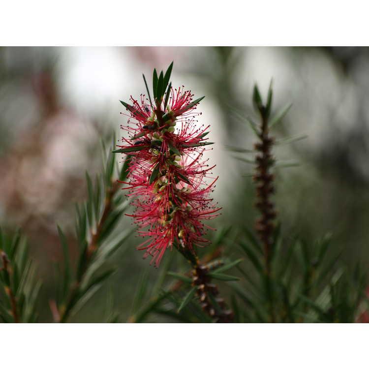 Callistemon Woodlanders Red
