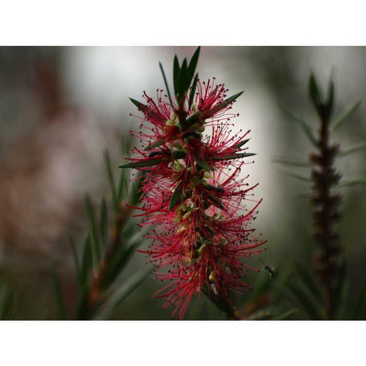 Callistemon 'Woodlander's Red' - hardy bottlebrush