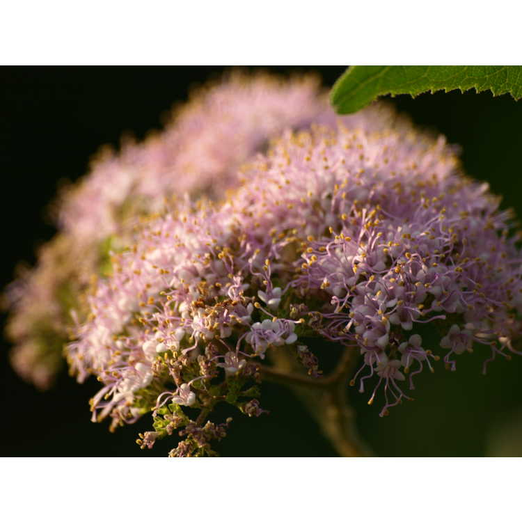 Callicarpa formosana - Formosan beautyberry