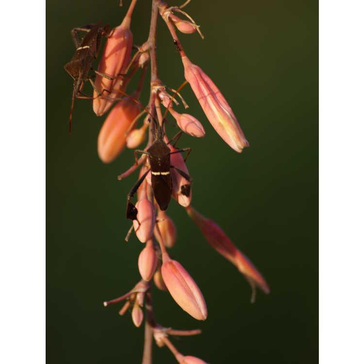 Hesperaloe campanulata Sierra Chiquita form