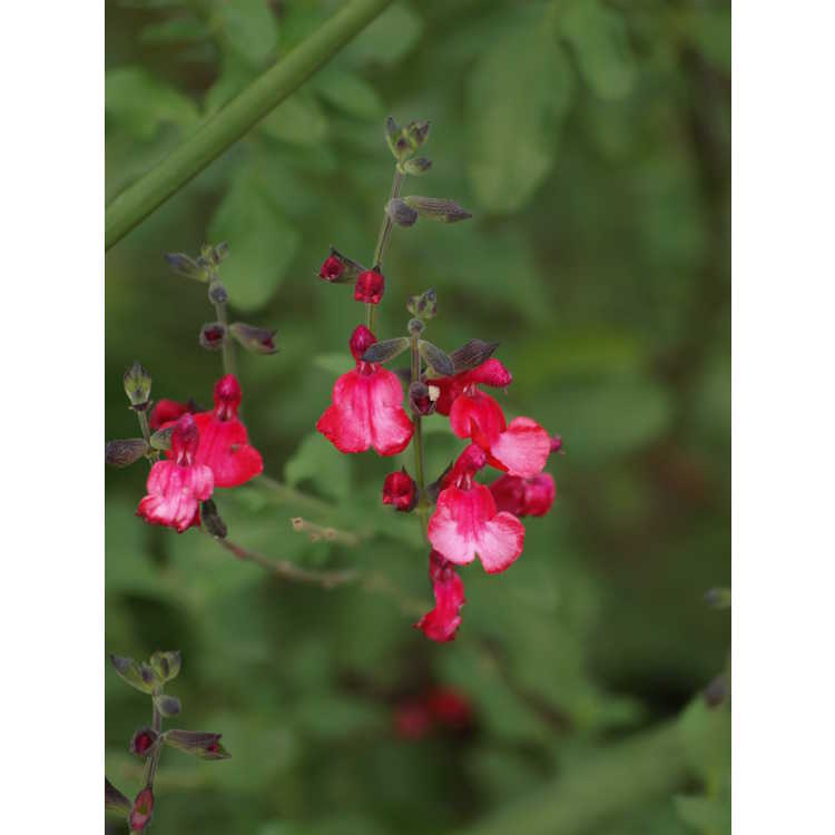 Salvia Cherry Chief