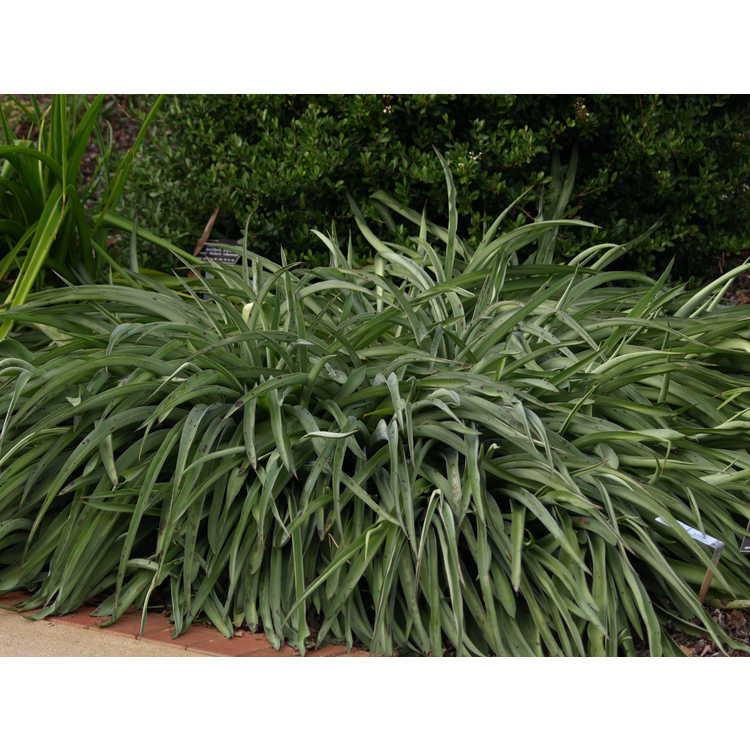 Manfreda 'Helen Wynans' - hybrid deciduous agave