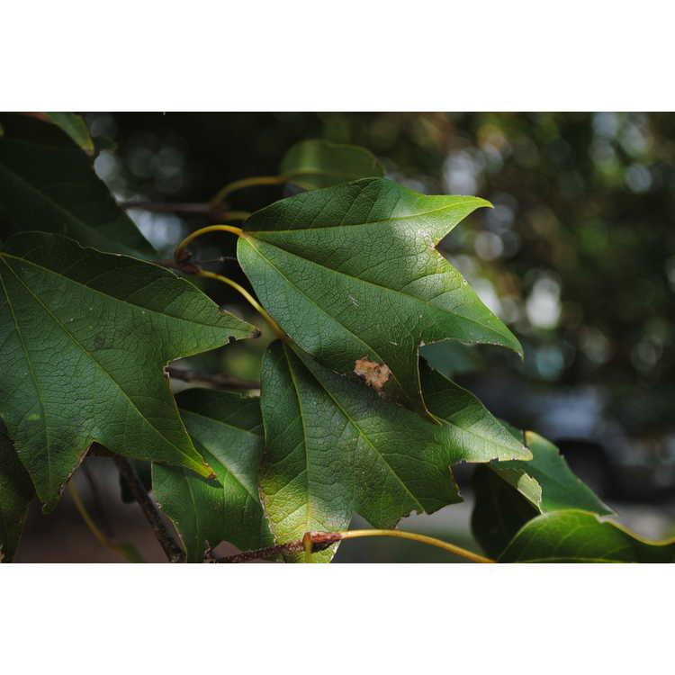 Acer buergerianum var. ningpoense