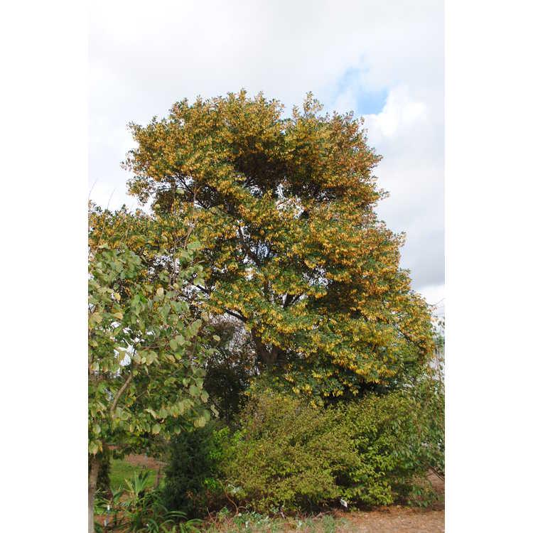 Dalbergia hupeana - rosewood