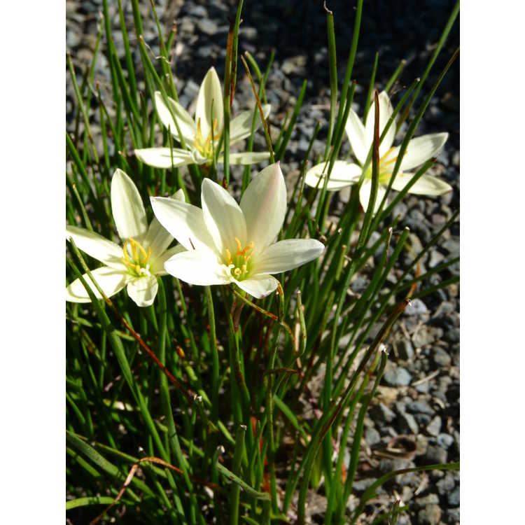 Zephyranthes Bangkok Yellow