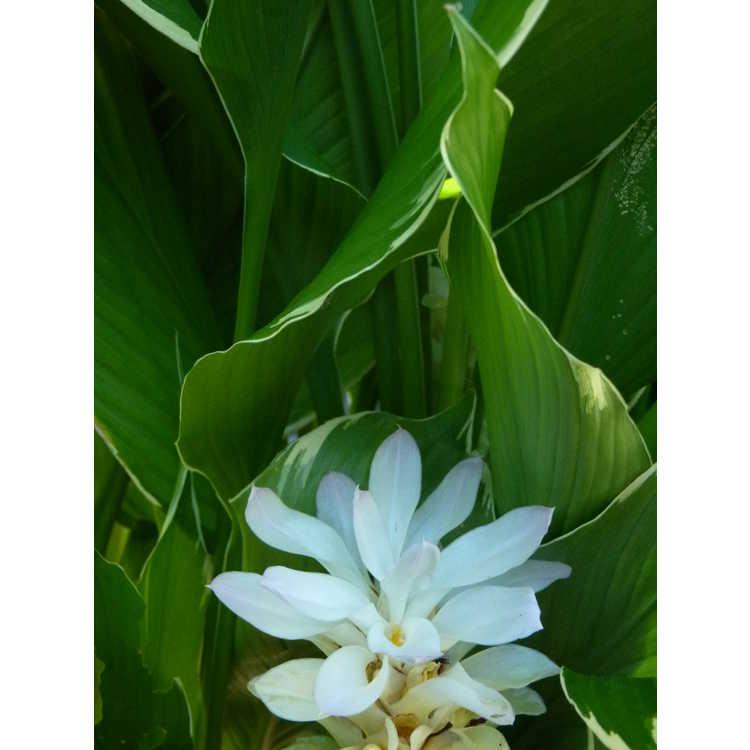 Curcuma petiolata Emperor