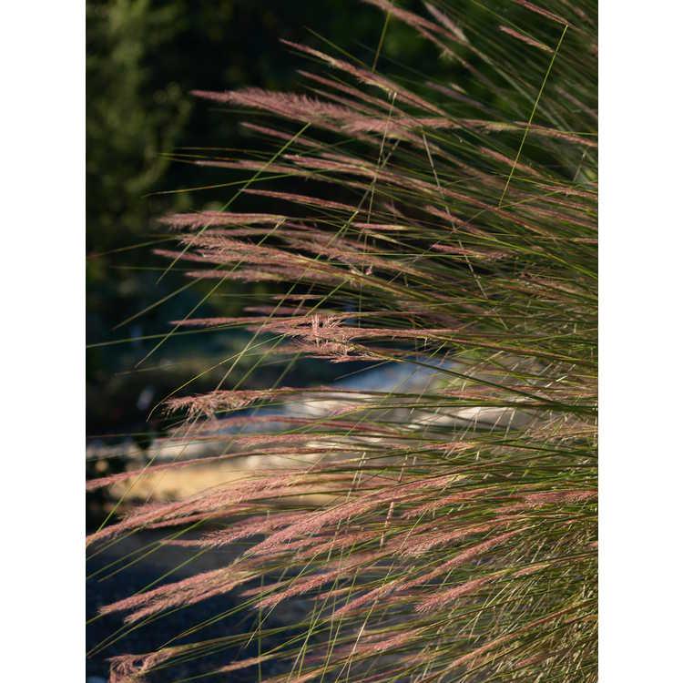 Muhlenbergia 'Pink Flamingos' - hybrid muhly grass