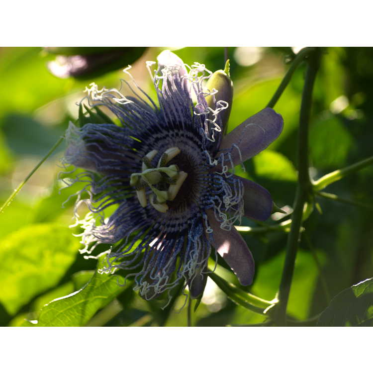Passiflora 'Elizabeth' - passion flower