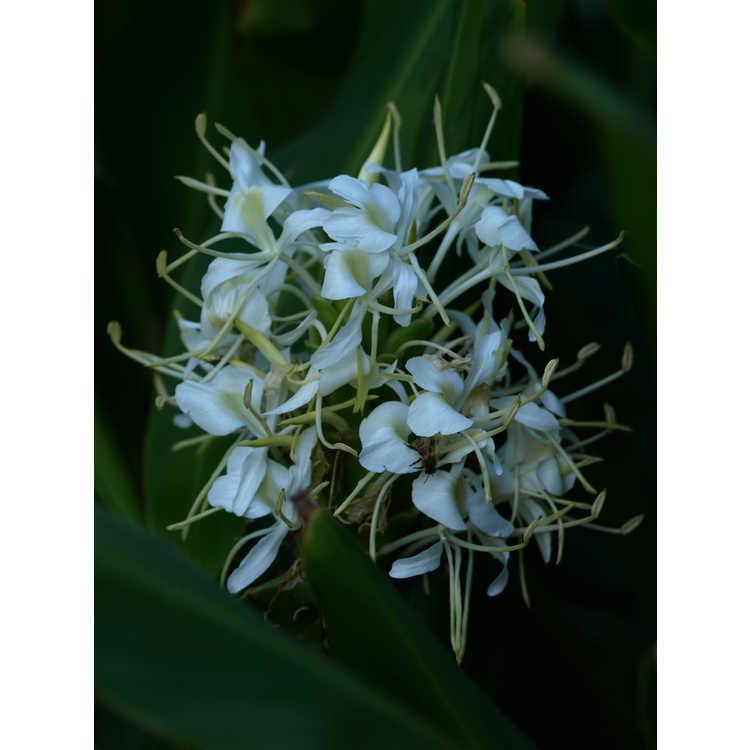 Hedychium 'White Starburst'