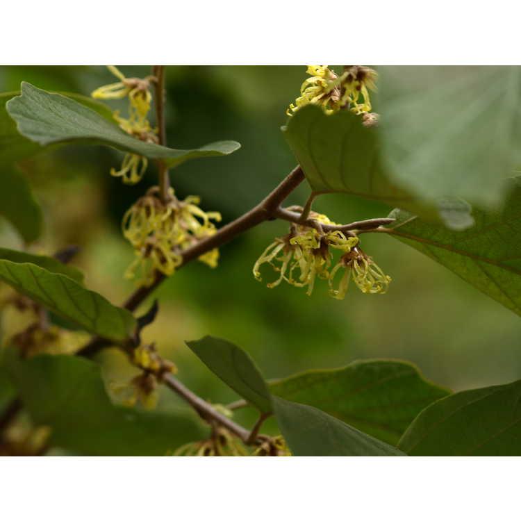 Hamamelis virginiana var. mexicana - Mexican witchhazel