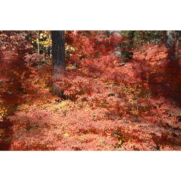 Acer palmatum - Japanese maple