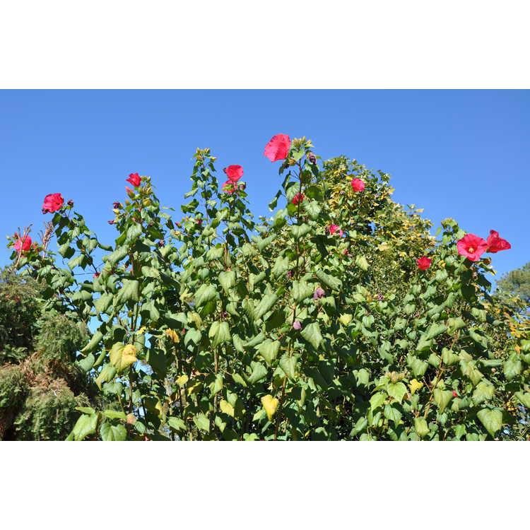 Hibiscus paramutabilis - everblooming Confederate rose