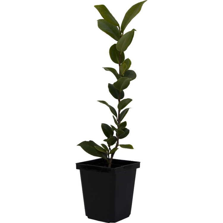Camellia japonica var. rusticana 'Ai-no-izumi'
