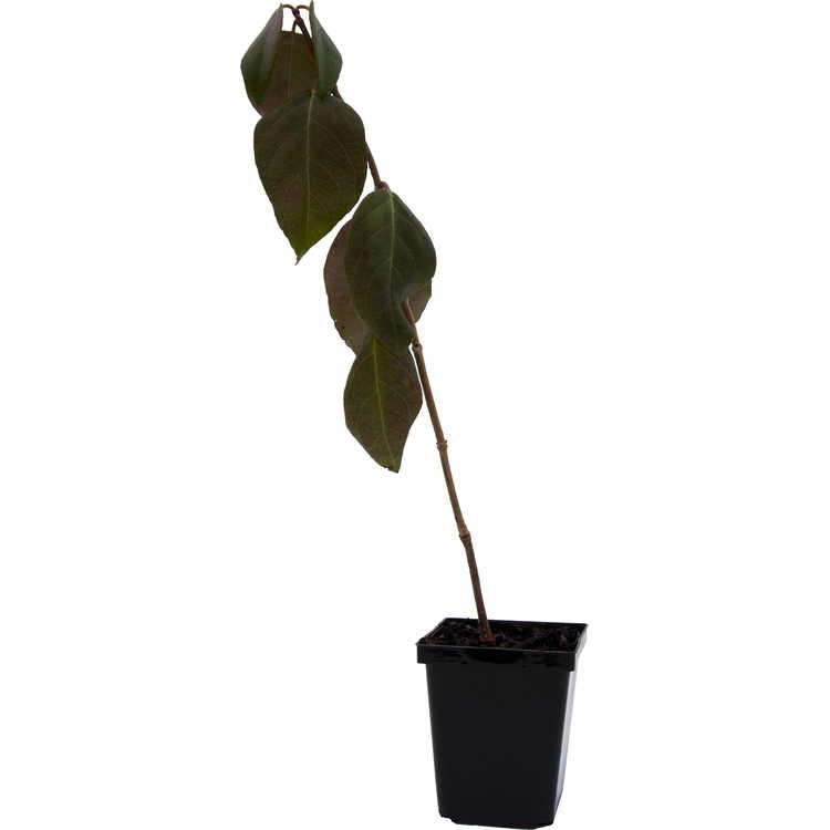 Pileostegia viburnoides var. viburnoides - evergreen climbing false hydrangea