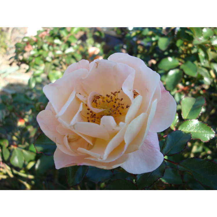 Rosa 'Noa97400a' - Flower Carpet Amber shrub rose