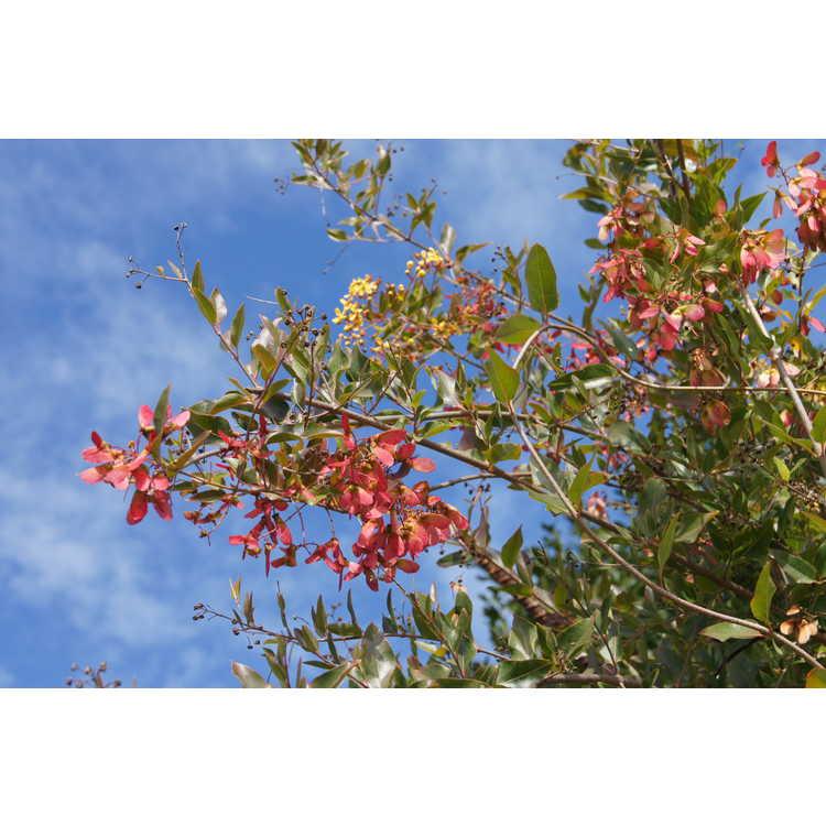 Heteropterys glabra - redwing