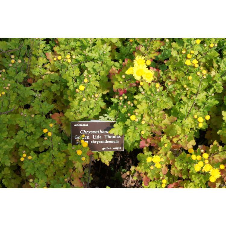Chrysanthemum 'Golden Lida Thomas' - garden chrysanthemum