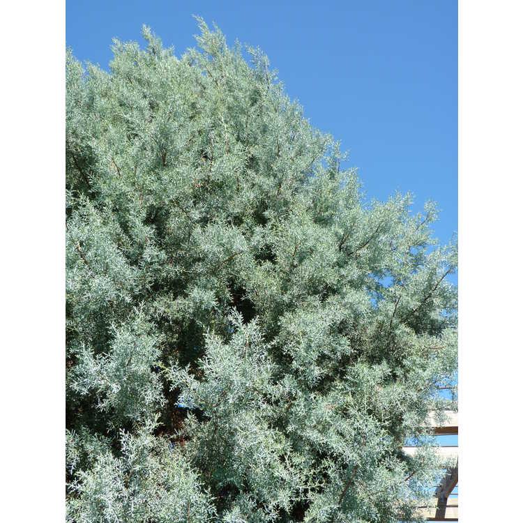 Cupressus arizonica 'Sapphire Skies'