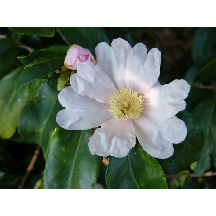 Camellia 'Winter's Star Light'