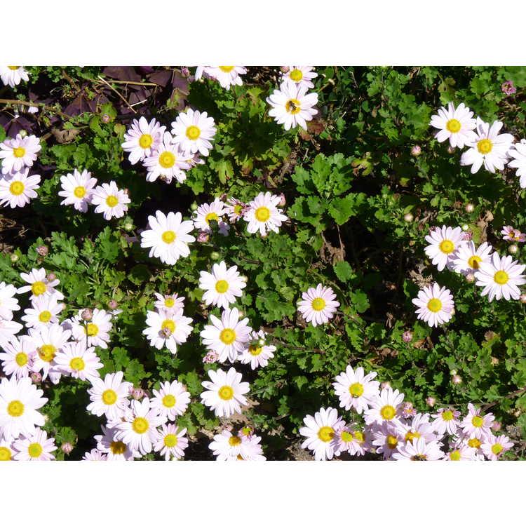 Chrysanthemum (Elizabeth Lawrence pink)