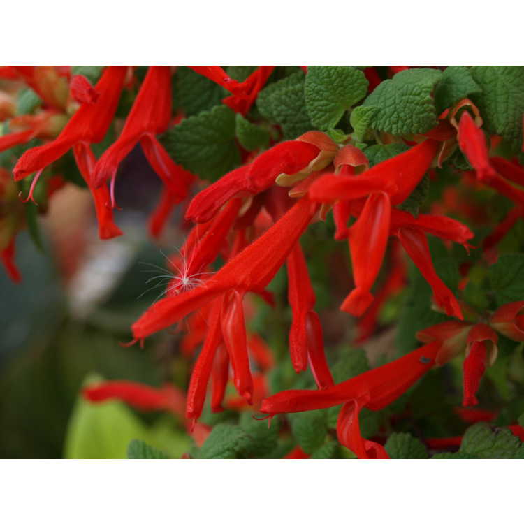 Salvia regla (Queretaro)