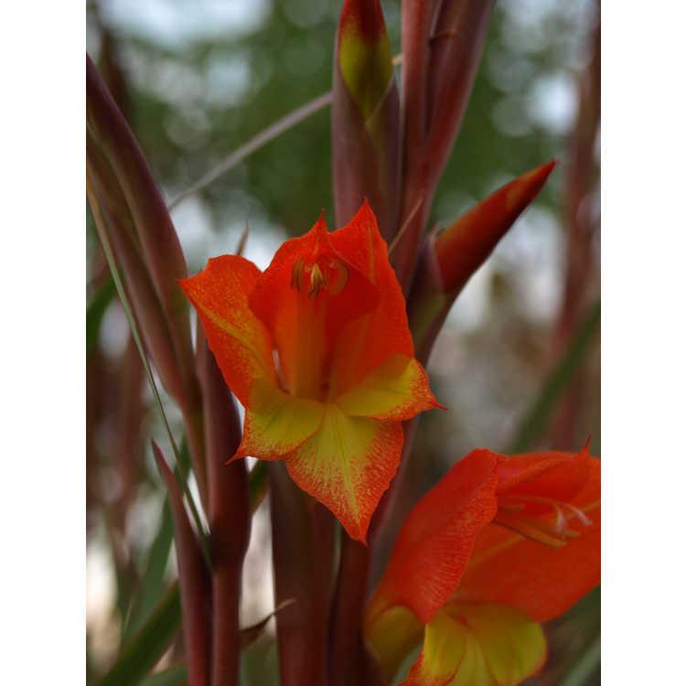Gladiolus dalenii Halloweenie