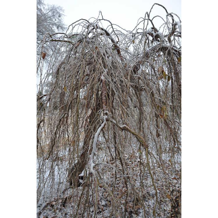 Ulmus minor subsp. minor 'Pendula' - weeping smoothleaf elm