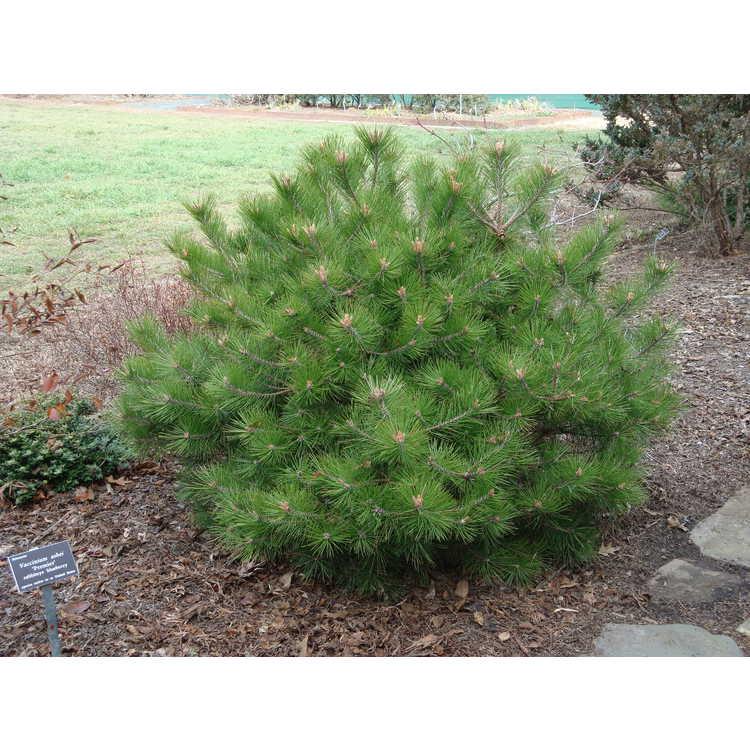 Pinus densiflora 'Vibrant' - dwarf Japanese red pine