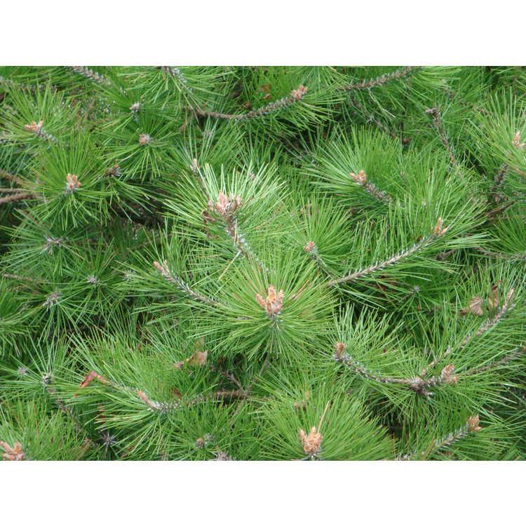 Pinus densiflora 'Vibrant'