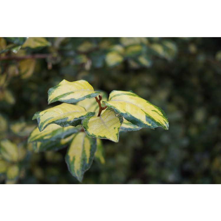 Elaeagnus ×ebbingei 'Coastal Gold'