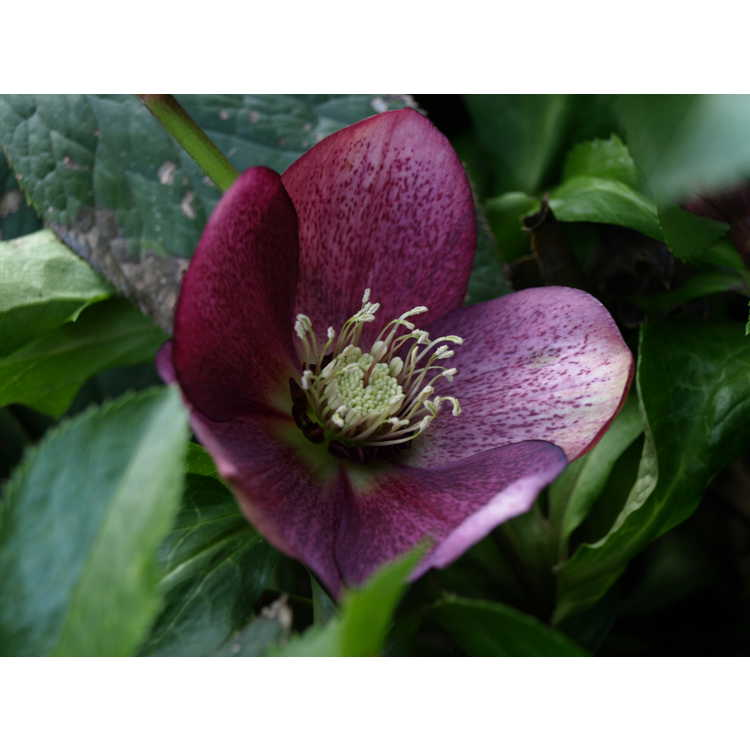 Helleborus hybridus dark pink shades