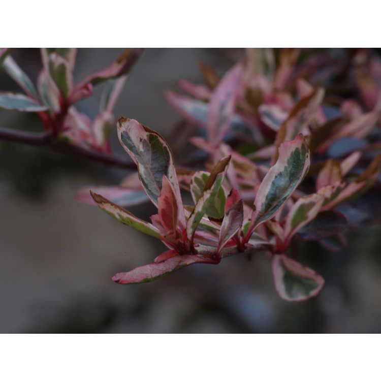 Pyracantha 'Cadvar'