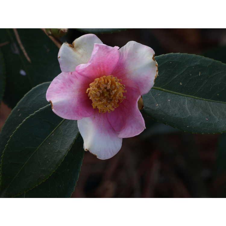 Camellia Yume