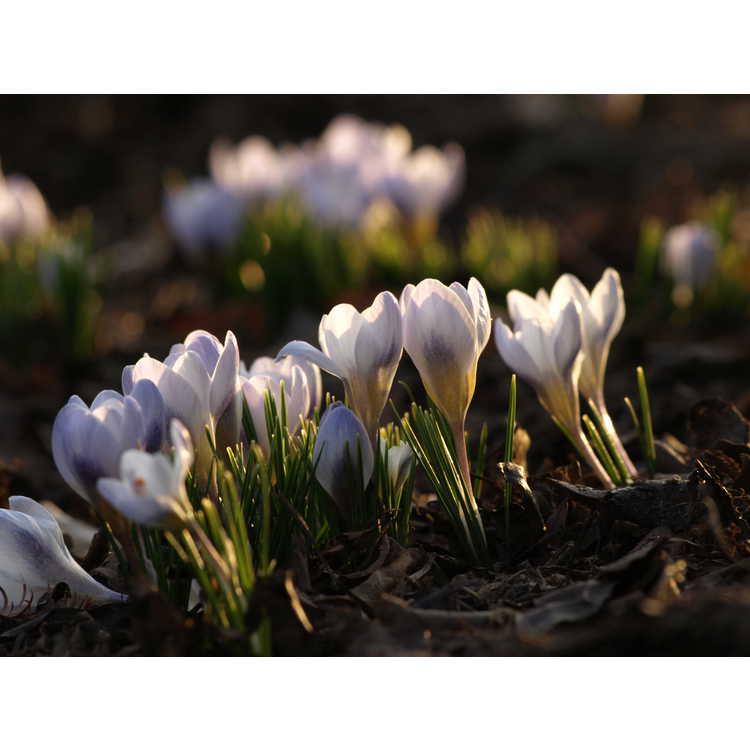 Crocus chrysanthus 'Blue Pearl' - spring crocus