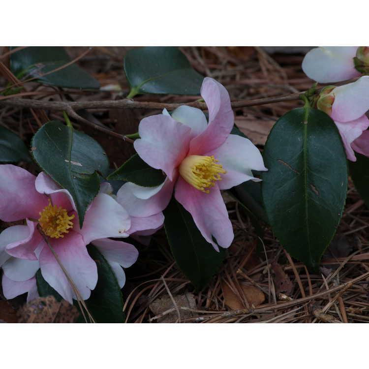 Camellia 'Yume'