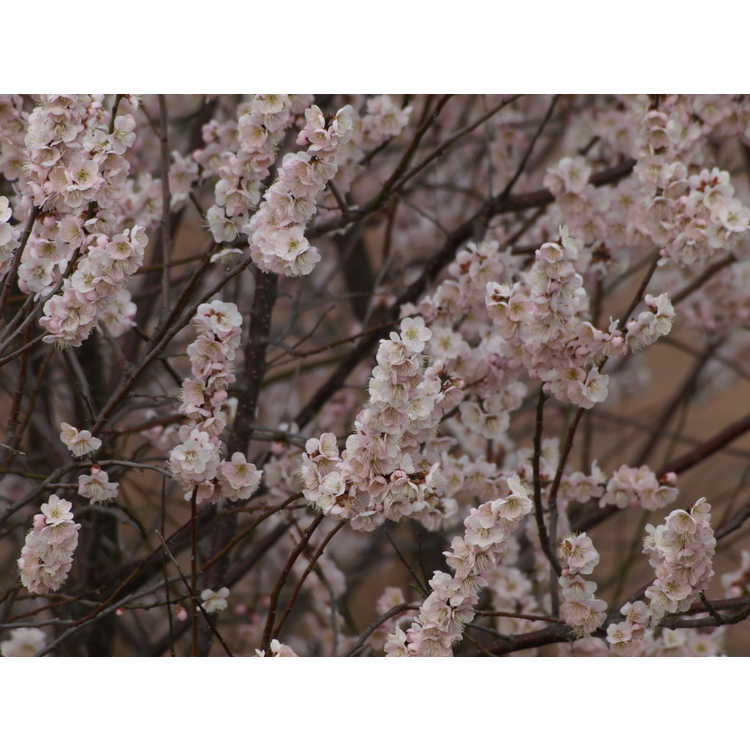 Prunus mume 'Josephine'