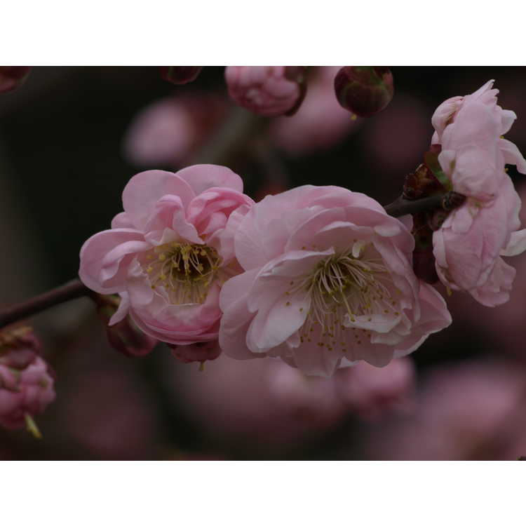 Prunus mume Dawn