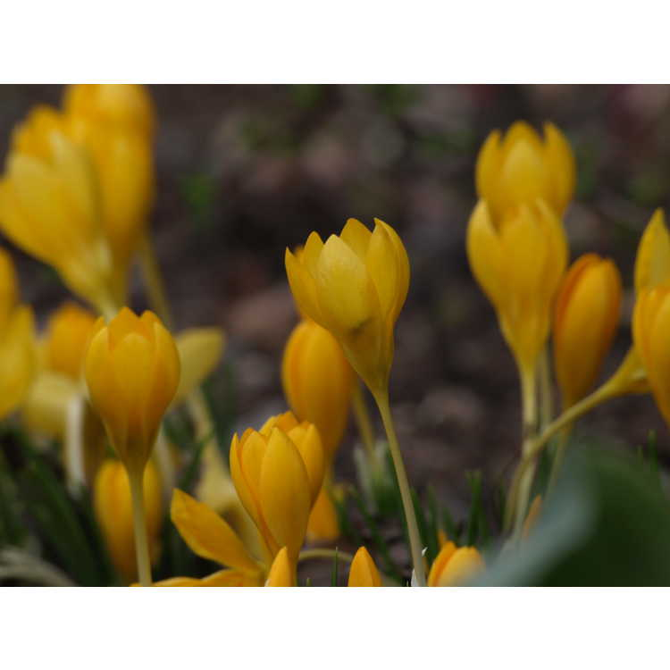 Crocus ancyrensis Golden Bunch
