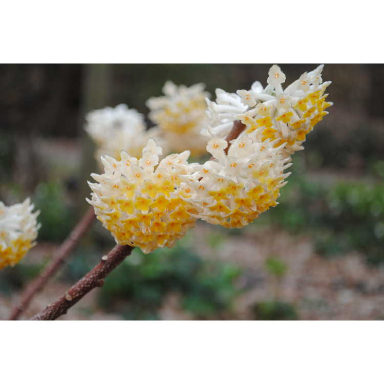 Edgeworthia chrysantha 'Snow Cream'