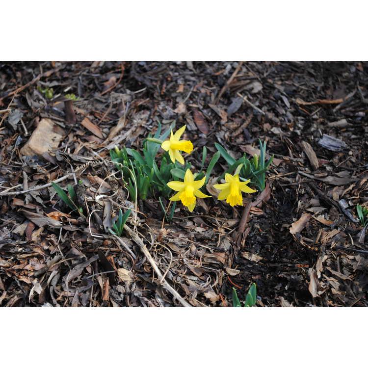 Narcissus 'Midget'