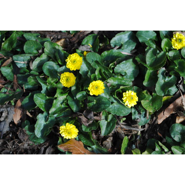 Ficaria verna Flore Pleno Group - double-flowered fig buttercup