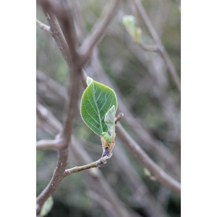 Magnolia sieboldii 'Colossus' - Oyama magnolia
