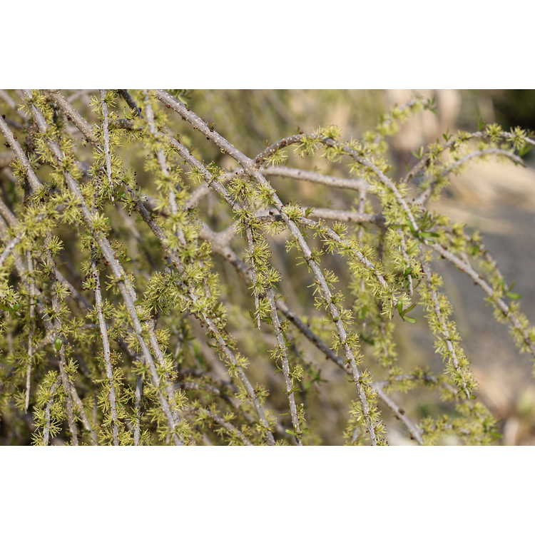 Forestiera angustifolia 'Weeping'