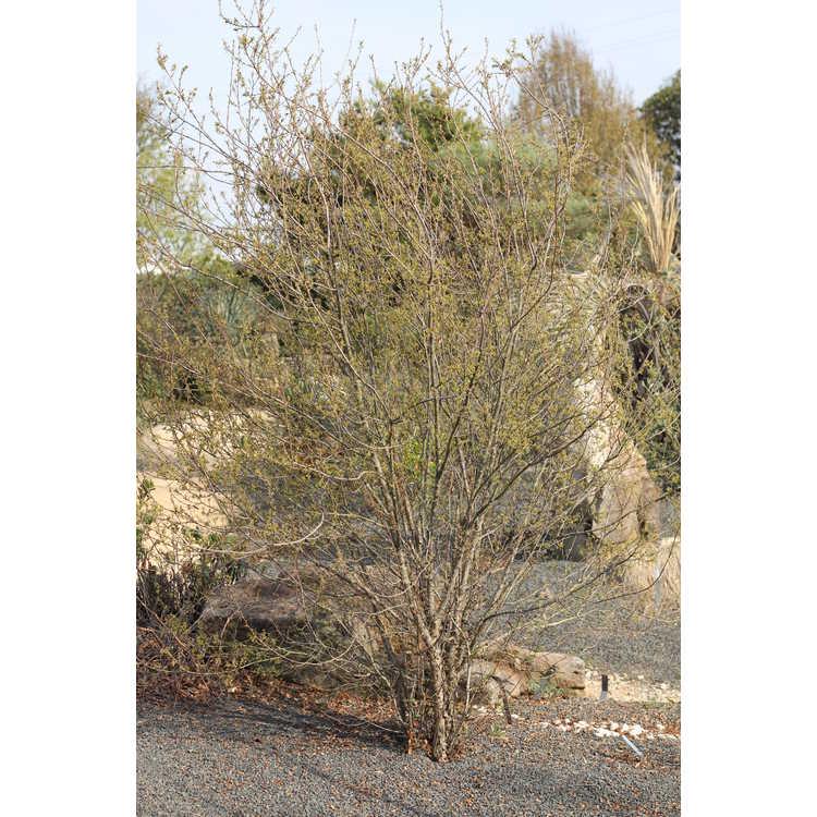 Quercus pungens