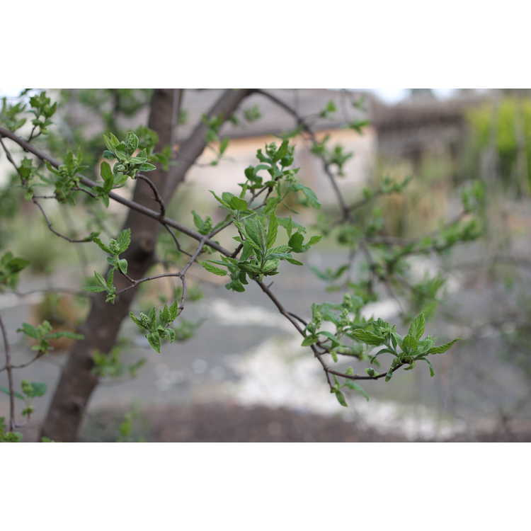 Acer stachyophyllum subsp. betulifolium - birchleaf maple