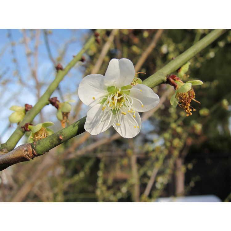 Prunus mume Tama