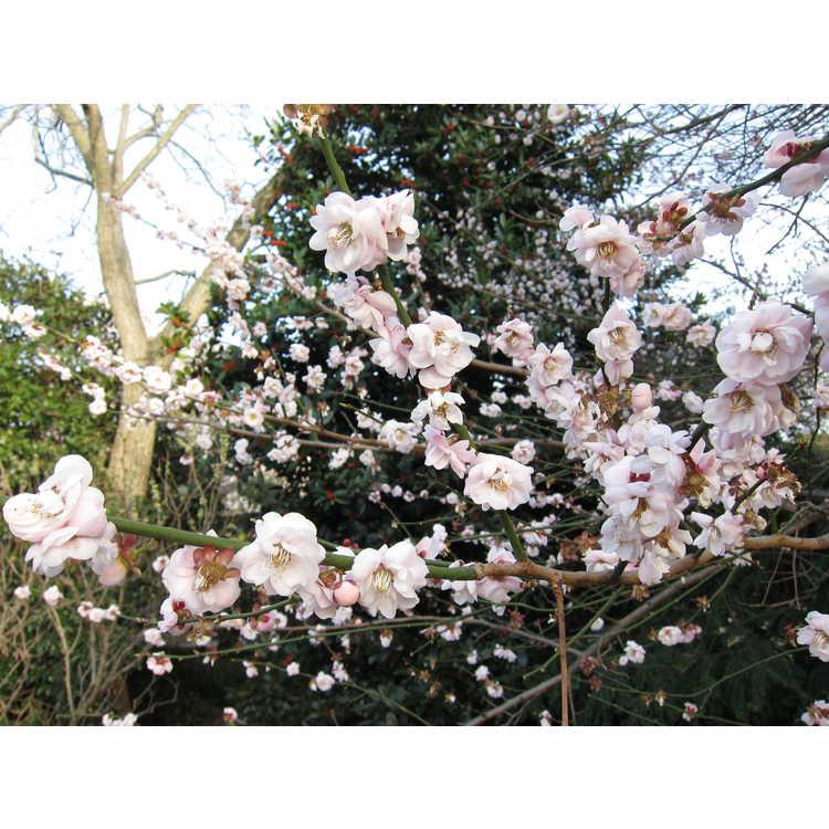 Prunus mume 'Rose Bud' - pink Japanese flowering apricot