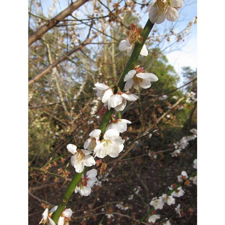 Prunus mume Tojibai