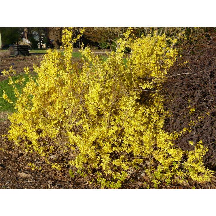 Forsythia giraldiana 'Golden Times' - gold-margined early forsythia