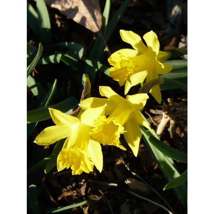 Narcissus Midget